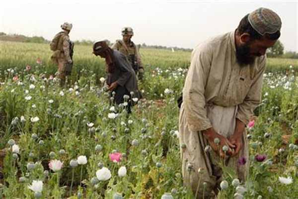 Afghan opium cultivation to rise in 2013